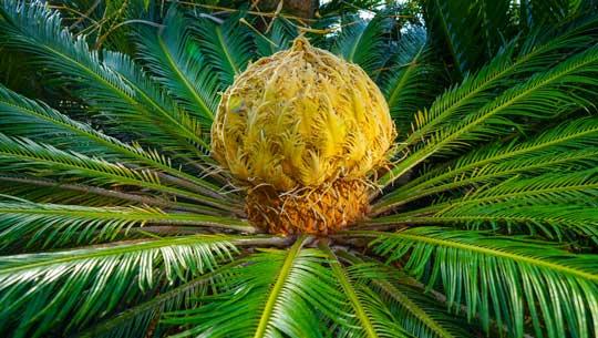 Palmacee e cycadaceae